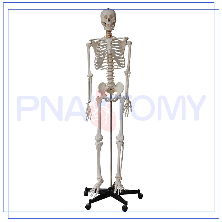 Pnt-0101h 45cm 85cm 175cm Medical Anatomical Human Skeleton Model ...