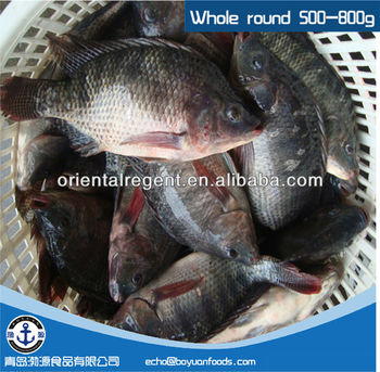 500-800g Farmed Chinese Bulk Tilapia Fish Wr