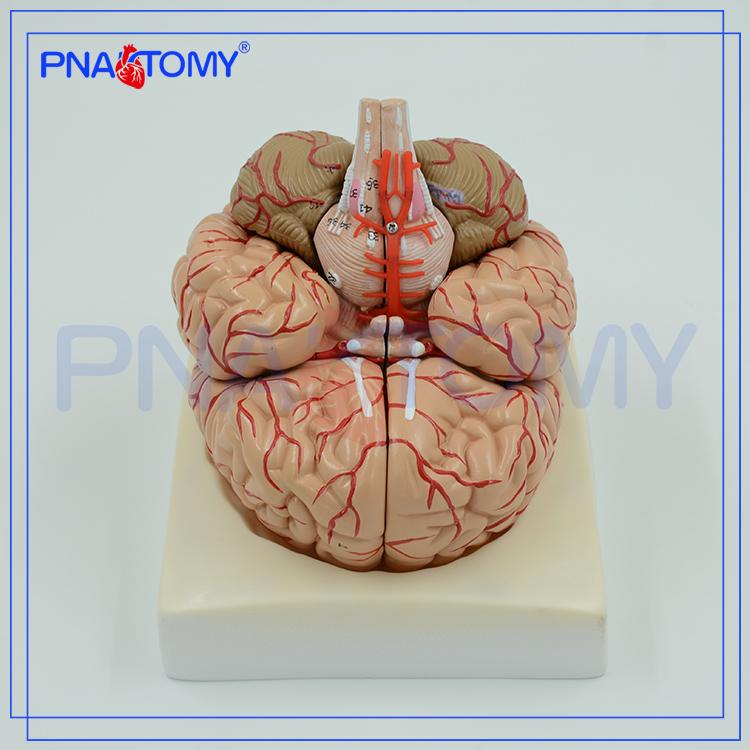 Pnt 0611 Advanced Brain Anatomical Model3d Brain Model Buy