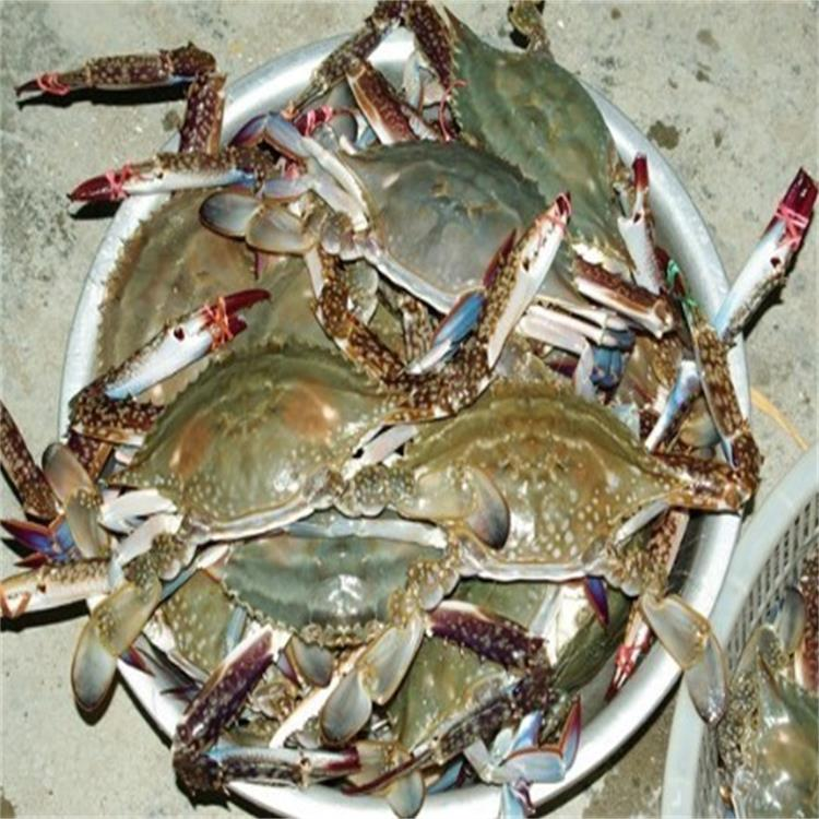 IQF chilled sea blue swimming crabs for global market