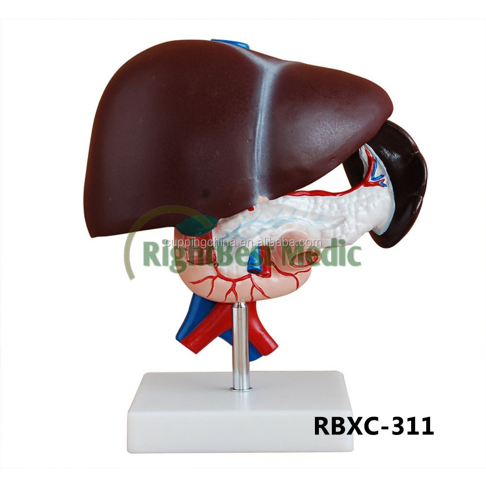Liver Anatomy Liver Anatomy Suppliers And Manufacturers At Alibaba