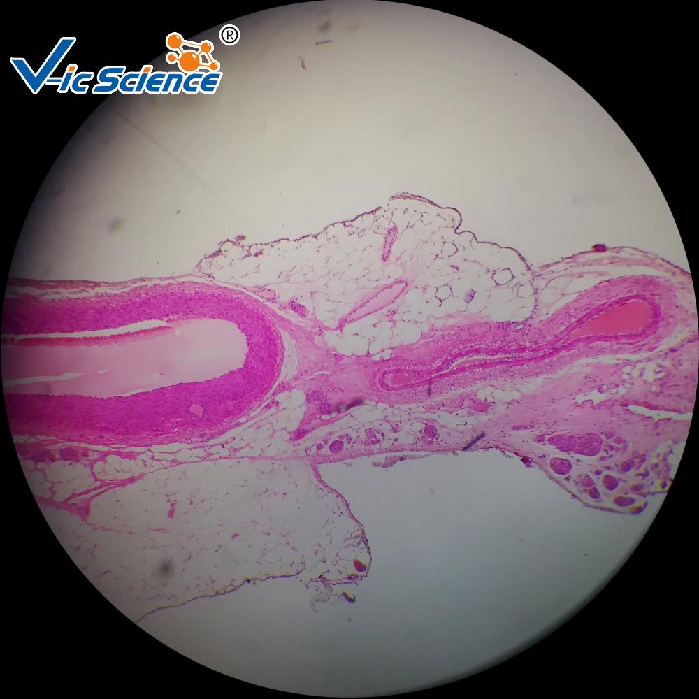 Professional human histology slides dense connective tissue