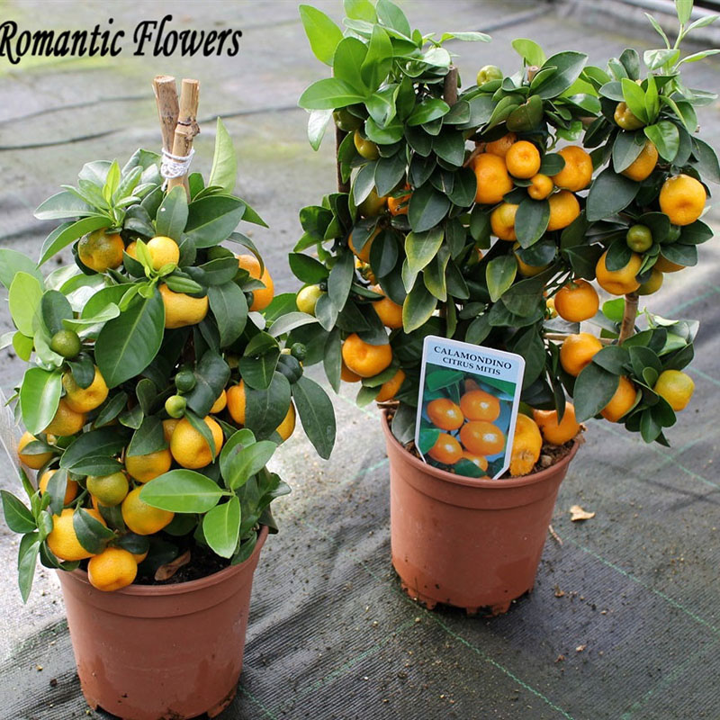 citrus bonsai baum beurteilungen online einkaufen citrus bonsai baum beurteilungen auf. Black Bedroom Furniture Sets. Home Design Ideas