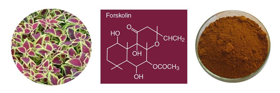 extracto puro de forskolina es seguro