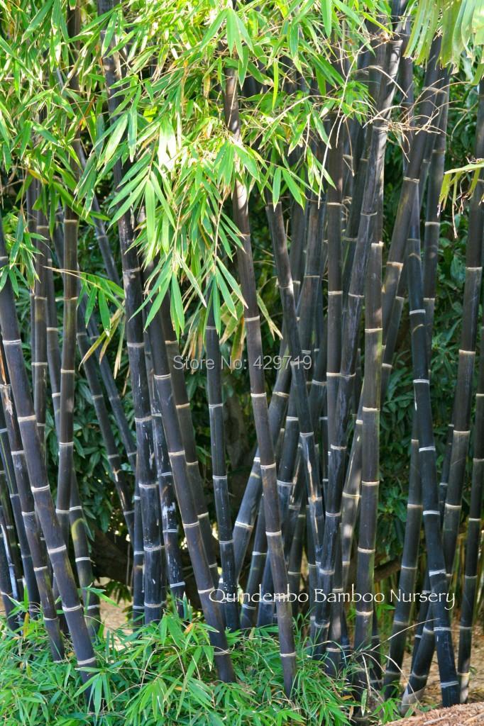 ₪20 Bamboo Seeds Rare Giant 【ᗑ】 Black Moso Bamboo Bambu