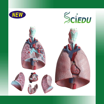 Medical Science Subject Human Respiratory System Model - Buy Medical ...