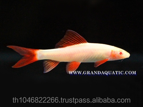 Rainbow Shark Albino / Ornamental Fish Exporter