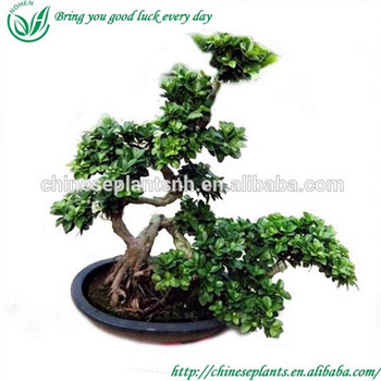 Natural Mini Ficus Bonsai Tree Water Shape