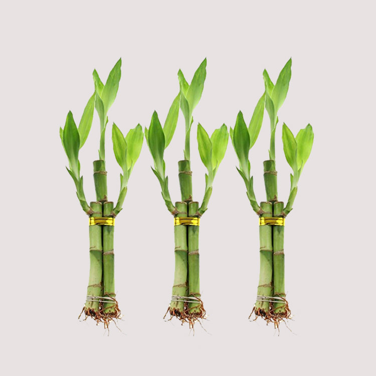 20CM artifical plants straight dracaena sanderiana