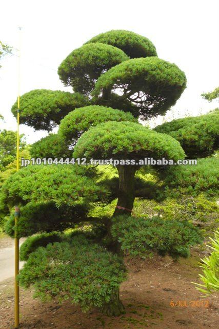 Grand bonsa plantes d 39 ext rieur de pin arbre style for Arbre bonsai exterieur