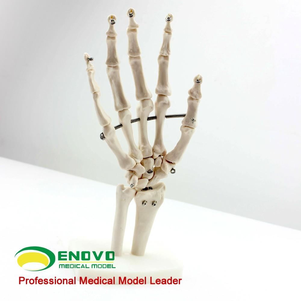 Enovo 12349medical Anatomy Science Life Size Hand Joint Human