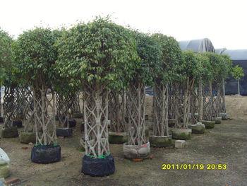 Ficus benjamina forma cuadrada buy product on - Ficus benjamina precio ...