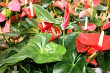 <span class=keywords><strong>Anthurium</strong></span> युवा पौधों