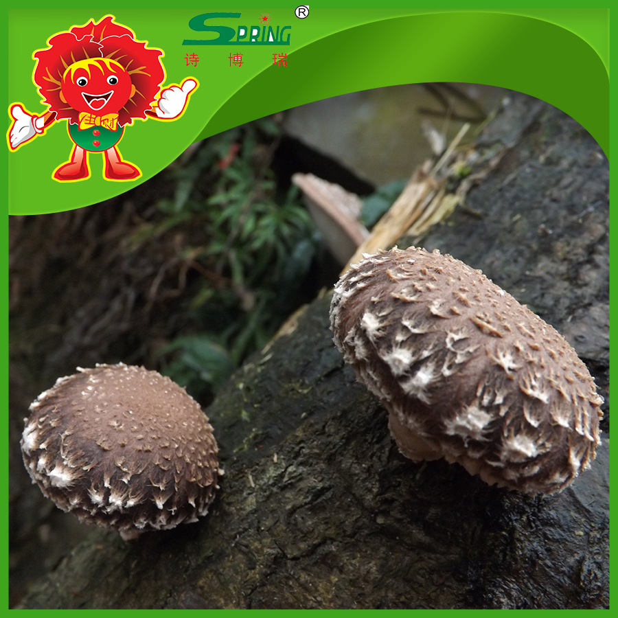 Vacuum Packed Mushroom Shiitake Mushrooms with top quality