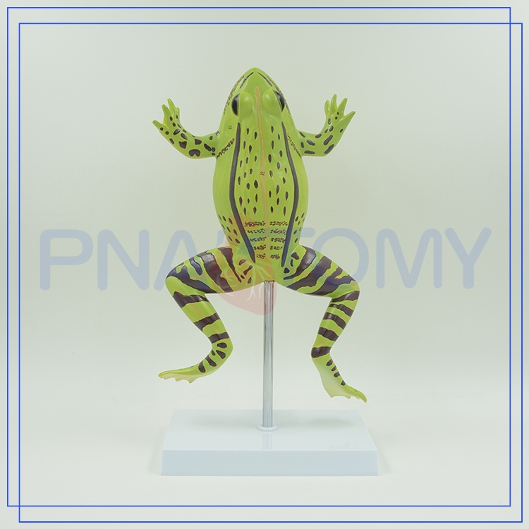 PNT-0820 school equipment enlarged educational frogs model