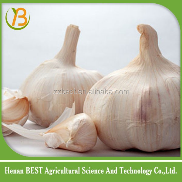 sell well garlic and you can buy garlic online good price