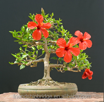 Wholesale Potted Rosa Sinensis Linn Houseplant Chinese Hibiscus