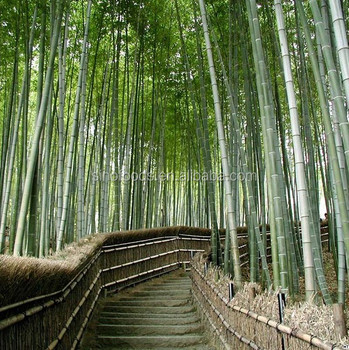 2017 Mao Zhu Zhong Zi Growing Moso Bamboo Seeds