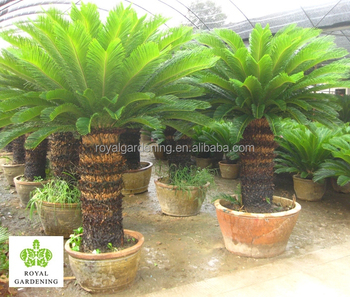 cycas revoluta multi branches buy cycas vendre cycas product on. Black Bedroom Furniture Sets. Home Design Ideas
