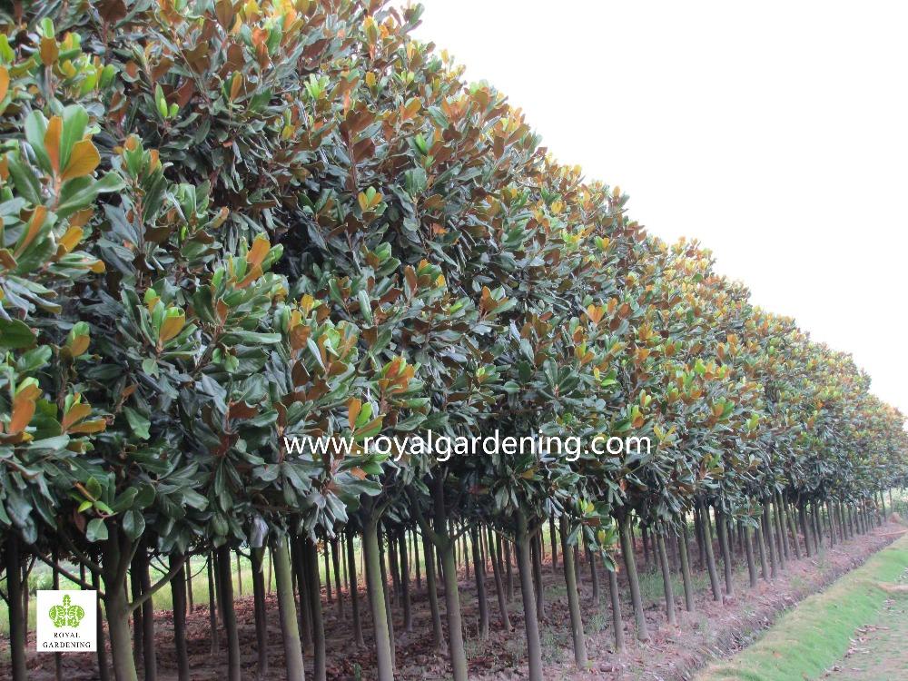 Magnolia grandiflora fr o hardy rboles jardiner a buy for Arboles jardineria
