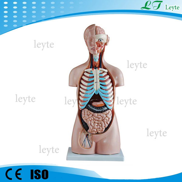 Xc-206 85cm 20 partes del cuerpo humano anatomía modelo de torso ...
