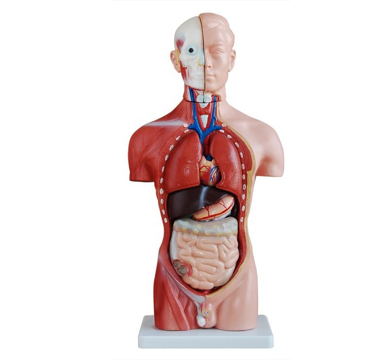 Human Body Modelanatomy Male Sex Torso Model 42cm13parts