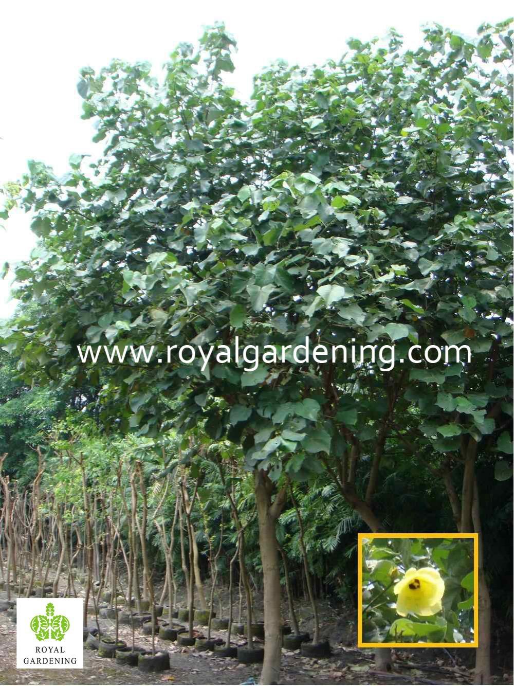 Hibiscus Tiliaceus Landscaping Tree Buy Hibiscus Tiliaceussea