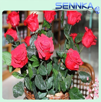 Real Natural Preserved Roses Wholesale Preserved Fresh Roses ...