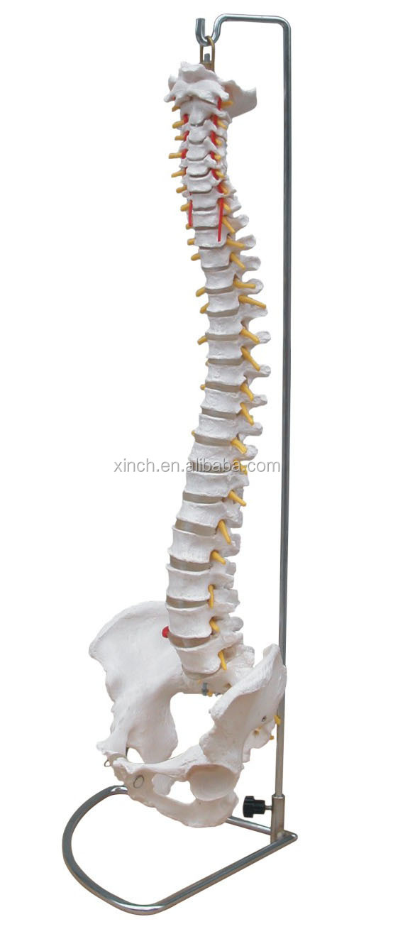 Life Size Anatomical Spine Model With Pelvis Buy Spine Product On