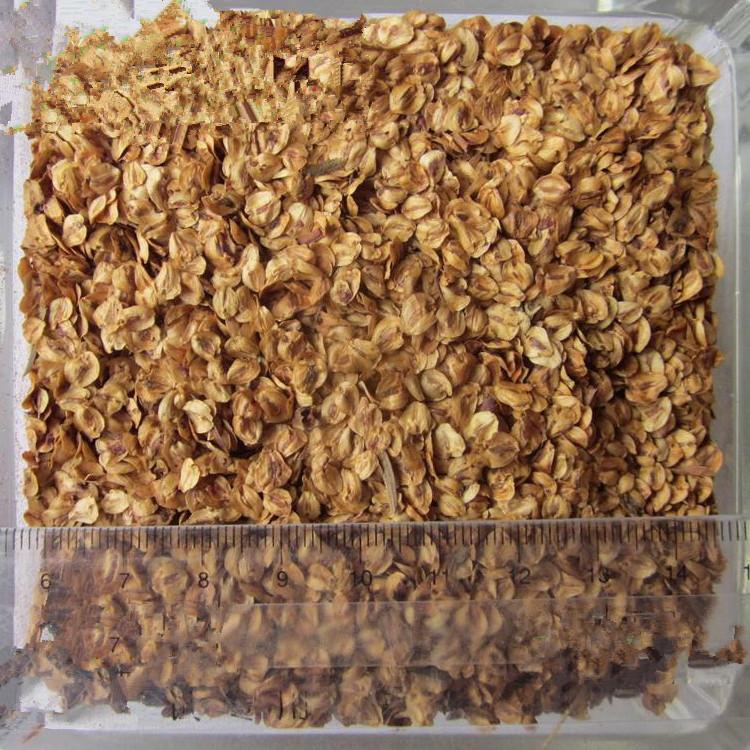 S329 Shui shan оптовые поставки фабрики семена секвойи для выращивания