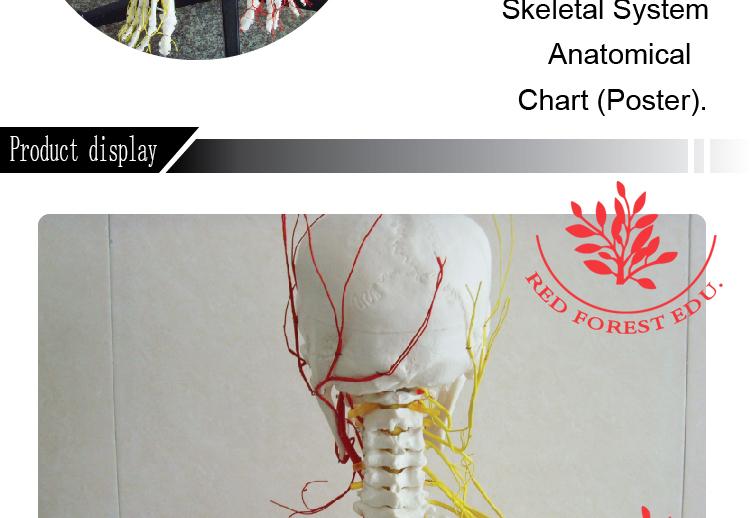Hot Sale Life Size Anatomy Skeleton Model With Nerve Blood Vessels ...
