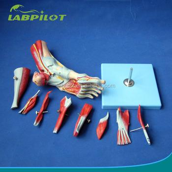 Fuß Modell Erweiterte Muskeln Von Fuß Modell Mit Hauptgefäße Und ...