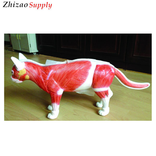 dissection model of cat-Source quality dissection model of cat from ...
