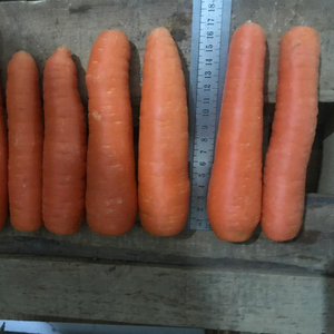 china fresh organic yellow carrot for wholesale