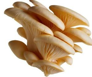 Oyster Mushroom Log, Oyster Mushroom Log Suppliers and Manufacturers