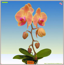 Yellow Flower With stripes Orchid Phalaenopsis Nursery Plant