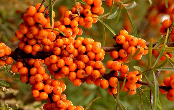 Manufacture Provide 100% Natural Anticancer Seabuckthorn Fruit Powder