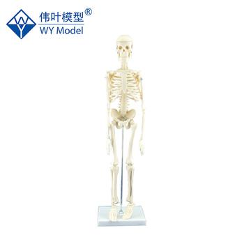45cm Removable Mini Human Body Skeleton Anatomical Model - Buy ...