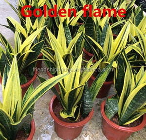 Nursery Bonsai Snake Plant Golden Sansevieria