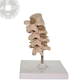 Columna Vertebral Cervical Anatomía 4 Partes Vértebra Modelo - Buy ...