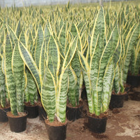 Sansevieria cylindrica snake cement plant
