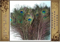 All size Peacock Feather
