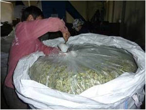 Vietnam Corn Silage Good For Cattle Feed with CHEAP PRICE - GGN Company: candy@vietnambiomass.com//Skype: baoyenhx (MS CANDY)