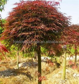 Bonsai Tree Japanese Maple Tree Acer Palmatum Var Dissectum Buy