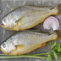 IQF Frozen Yellow Croaker Fish Small and Big Size