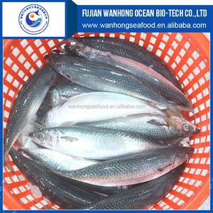 New landing fresh sea frozen High quality HGT fish pacific mackerel scomber japonicus