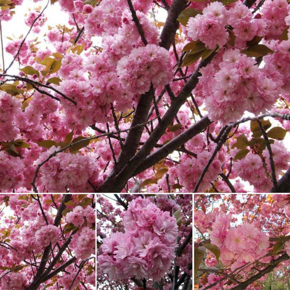 Buy Japanese Cherry Tree Pink Cloud Oriental Sweet Prunus Serrulata