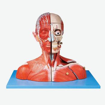 Se323159 Kopf Und Hals Blutgefäße Und Nerven Mit Brain Modell - Buy ...
