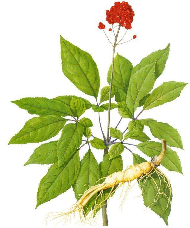 SQT Red Korean Panax Ginseng Root Extract Ginsenosides 10%~80% uv