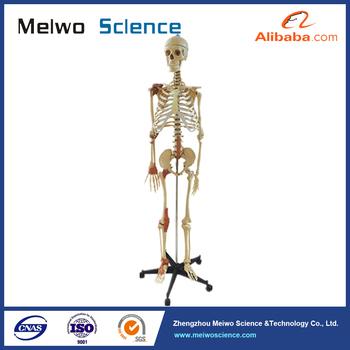 El Color Enthesis De Los Músculos En El Esqueleto Humano Anatomía ...
